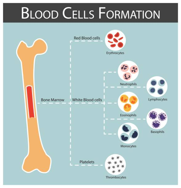 Blood cells Formation ( bone marrow produce blood cells series : erythrocytes , lymphocytes , neutrophils , monocytes , eosinophils , basophils , thrombocytes ) Haematology concept and infographics Blood cells Formation ( bone marrow produce blood cells series : erythrocytes , lymphocytes , neutrophils , monocytes , eosinophils , basophils , thrombocytes ) Haematology concept and infographics red blood cell stock illustrations