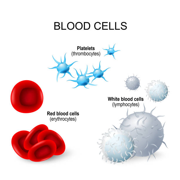 Blood cells: platelets, lymphocytes, erythrocytes Blood cells. formed elements of blood: platelets (thrombocytes), white blood cells (lymphocytes), red blood cells (erythrocytes) red blood cell stock illustrations