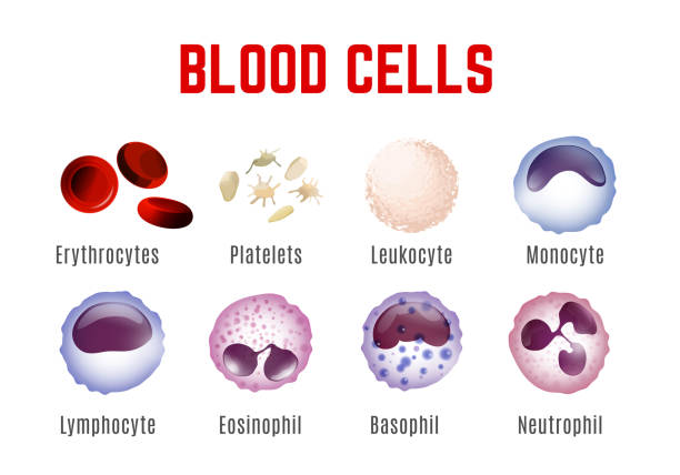 Blood Cells Poster Blood cells types. Editable vector illustration isoated on white background. Erythrocytes, plateletes, leukocytes, lymphocytes, monocytes and more. Educational medical poster in landscape format. platelet stock illustrations