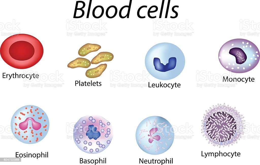 Blood cells. Set of colored . Red  , platelets, leukocytes, lymphocytes, eosinophils vector art illustration