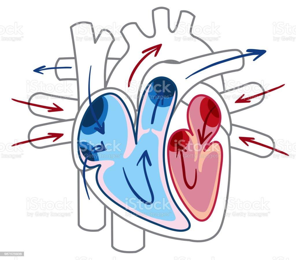Ilustración de Flujo De Sangre Del Diagrama Del Corazón y más banco ...
