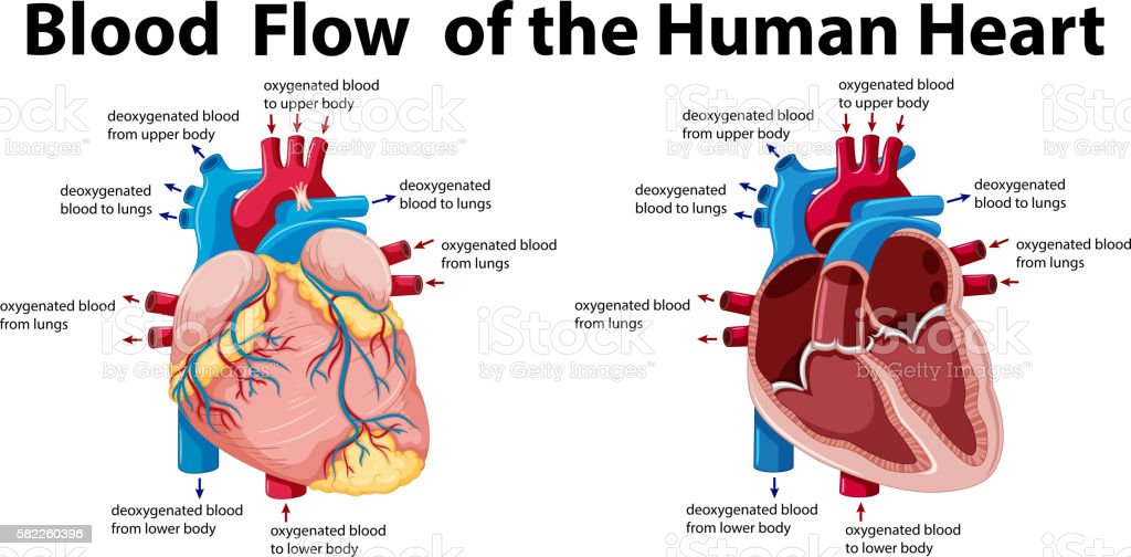 Blood Flow Of The Human Heart Stock Illustration ...