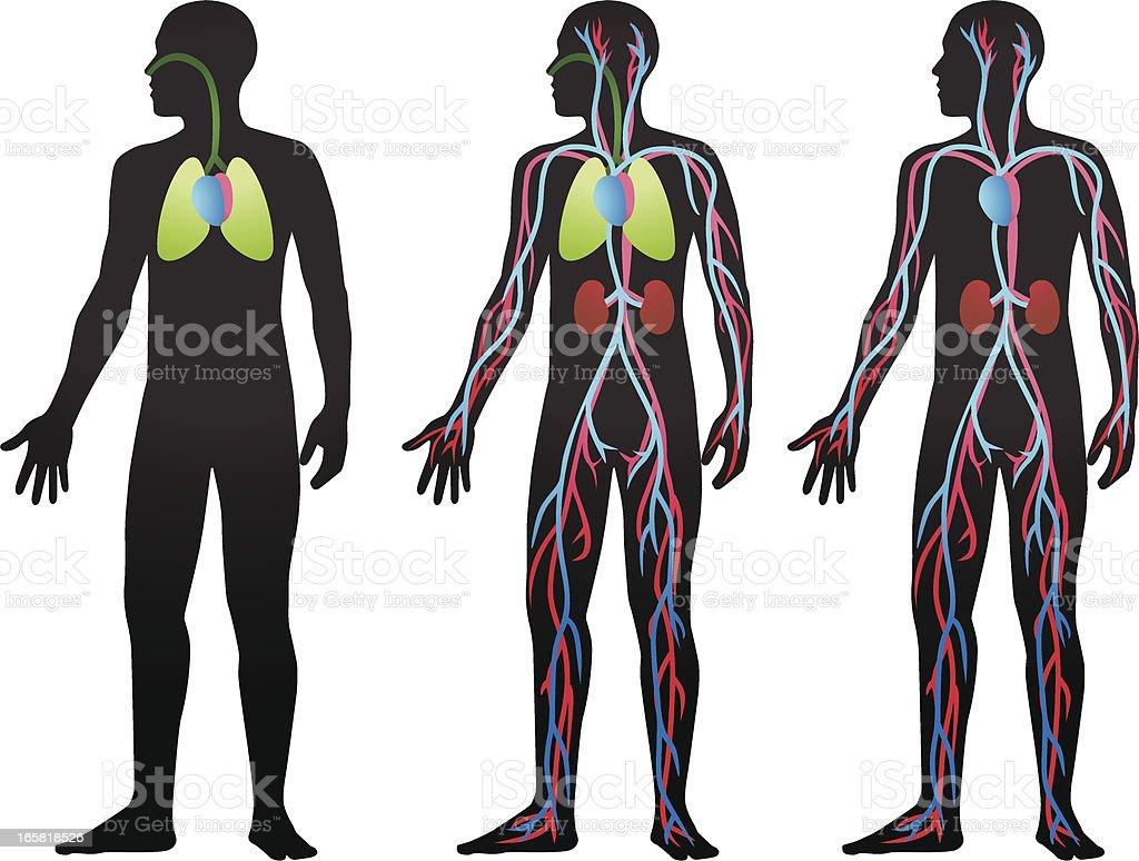 Blutkreislauf Flow Stock Vektor Art und mehr Bilder von Anatomie ...