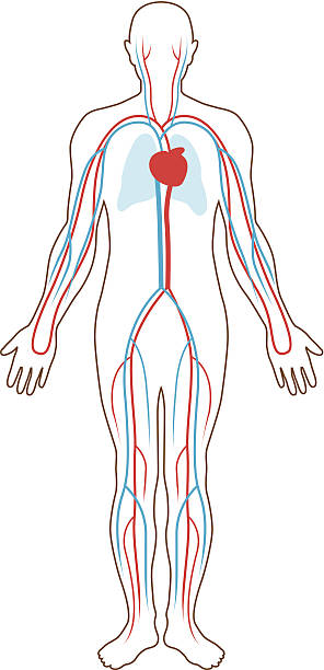 Blood supply illustration vector art illustration