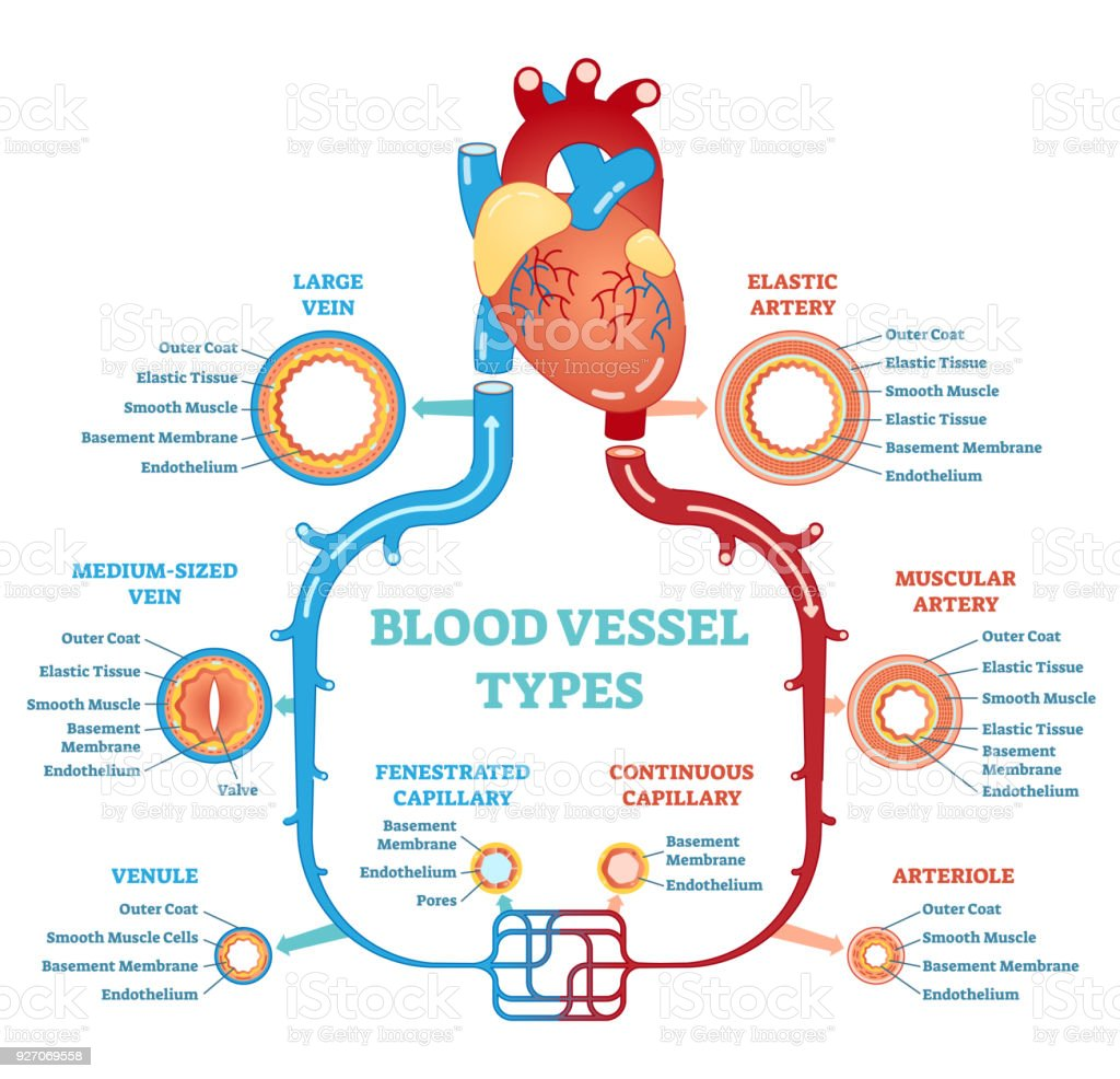 Blood vessel types anatomical diagram, medical scheme. Circulatory system. Medical educational information.