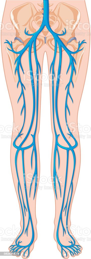 Blood Vessels In Human Body Stock Vector Art More Images Of
