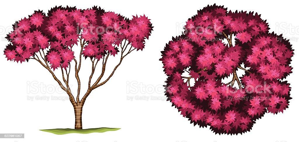 Bloodgood japanese maple tree vector art illustration