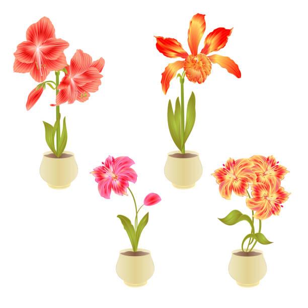 bildbanksillustrationer, clip art samt tecknat material och ikoner med blommande amaryllis cattleya alstroemeria blommor och knopp i potten på en vit bakgrund detaljerad naturlig ritning av vackra odlade blommande trädgård växt vintage vektor illustration redigerbar - amaryllis