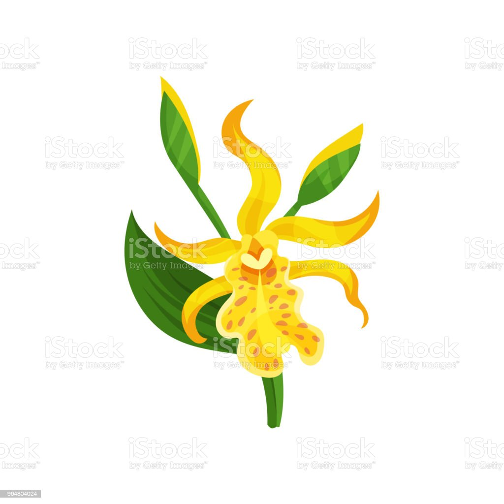 Blooming Canna lily with yellow petals and green leaf. Gorgeous tropical flower. Flat vector element for botanical book or poster royalty-free blooming canna lily with yellow petals and green leaf gorgeous tropical flower flat vector element for botanical book or poster stock vector art & more images of cartoon