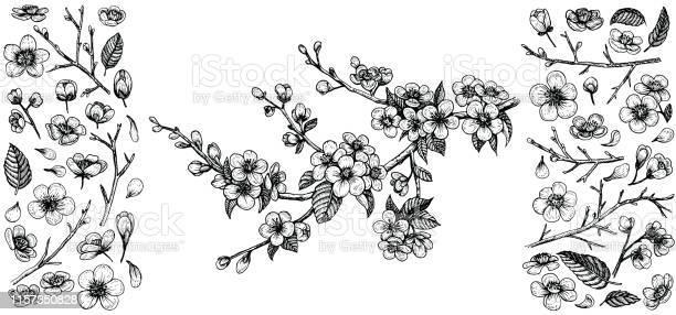 Blooming cherry branch hand drawn vector illustration and big set of vector id1157350828?b=1&k=6&m=1157350828&s=612x612&h=lp0g kotzn2xxereyk2xqh7t5q4121ne5ne2kafogsm=
