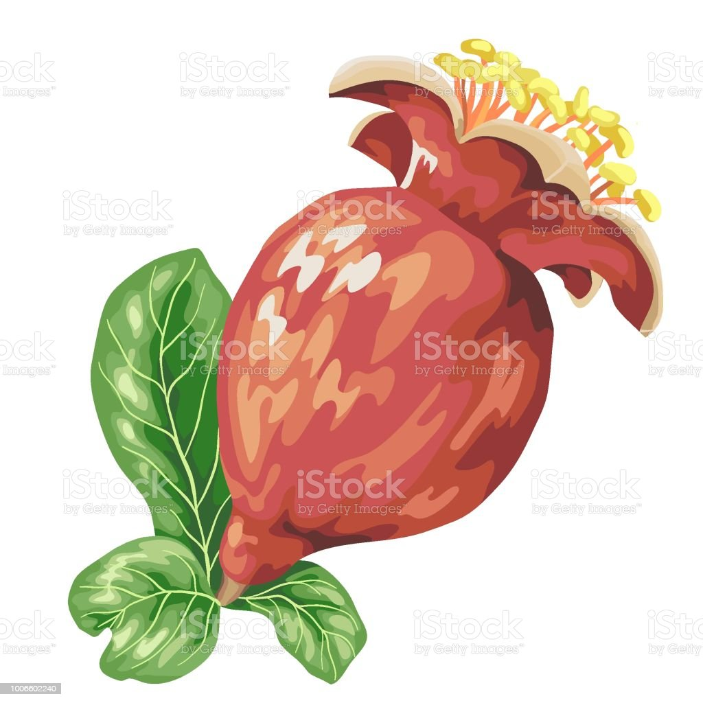 Blooming Flower Fruit Of Pomegranate Tree Stock Illustration Download Image Now Istock