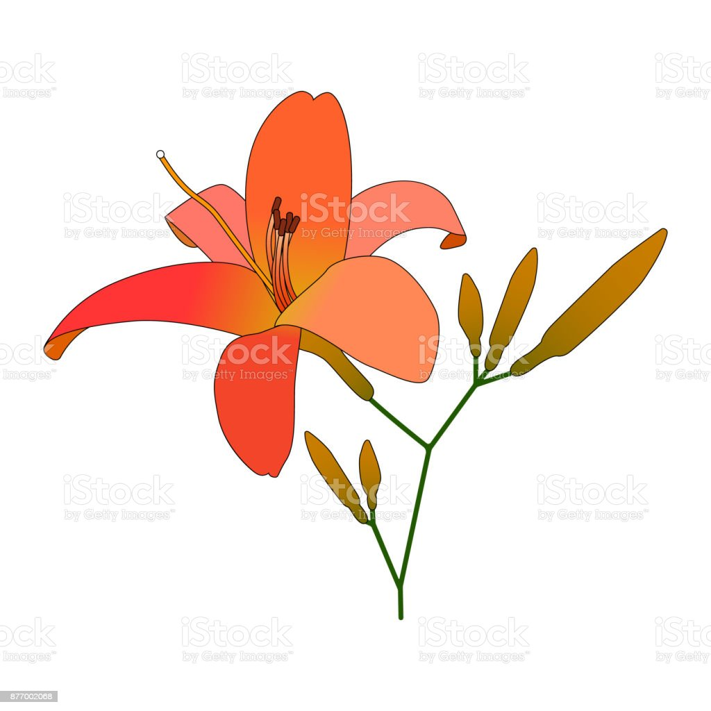 Blooming lilies flat vector illustration. vector art illustration