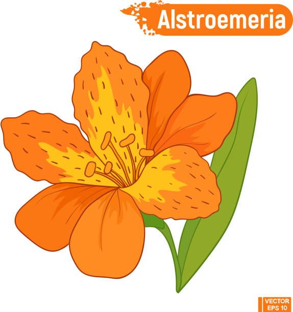 orange alstroemeria blume blühen. - inkalilie stock-grafiken, -clipart, -cartoons und -symbole