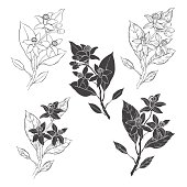 Neroli, fleur d'orange. Hand-drawn isolated vector objects on white background.