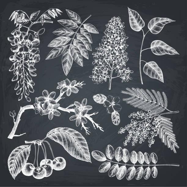 blühende bäumen große set 3 - robinie stock-grafiken, -clipart, -cartoons und -symbole