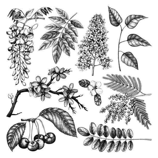 blühende bäume große set4 - robinie stock-grafiken, -clipart, -cartoons und -symbole