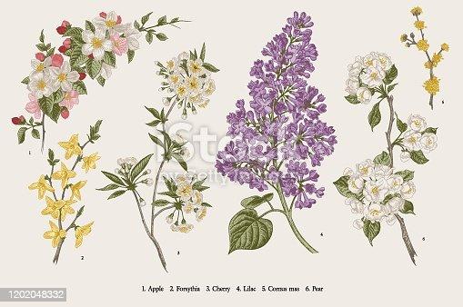 Blooming trees. Vintage vector botanical illustration. Spring set