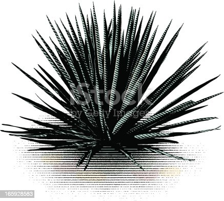 Blue Agave plant isolated on white background.