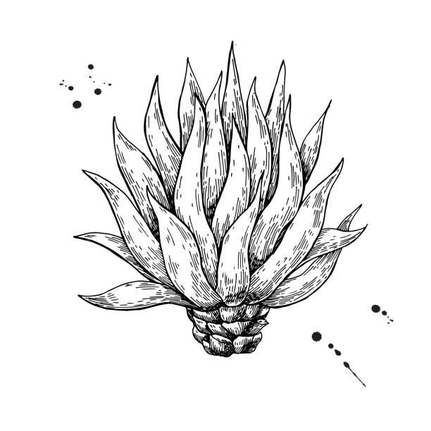 Agave azul. Dibujo vectorial de ingrediente de Tequila - ilustración de arte vectorial