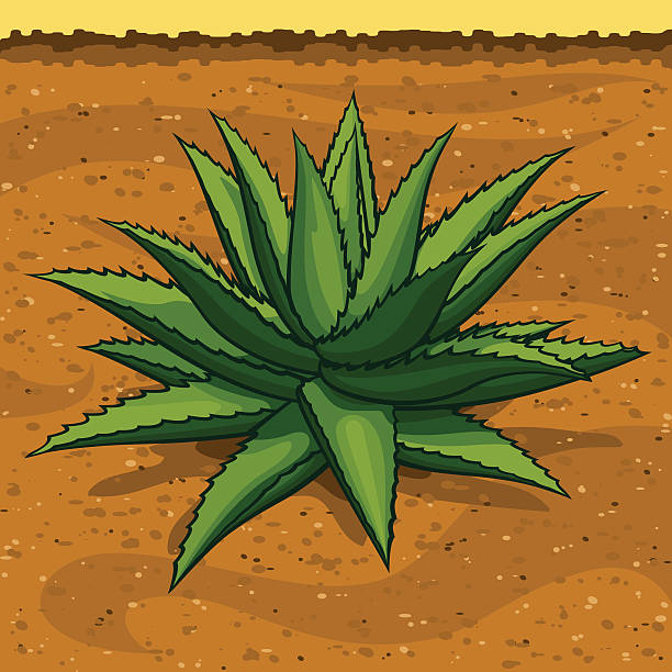 Blue Agave, the Tequila Plant vector art illustration