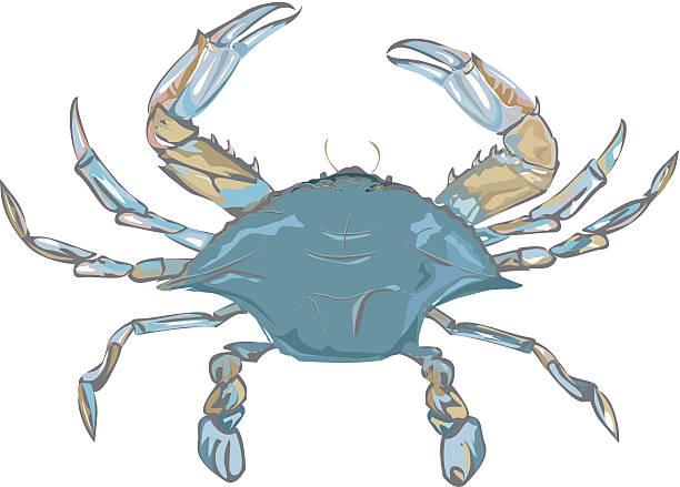 stockillustraties, clipart, cartoons en iconen met blue crab c - blauwe zwemkrab