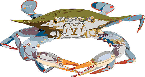 stockillustraties, clipart, cartoons en iconen met blue crab illustration - blauwe zwemkrab