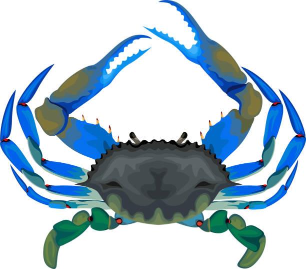 stockillustraties, clipart, cartoons en iconen met blauwe krab - vectorillustratie - blauwe zwemkrab