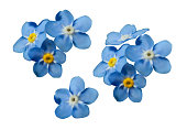 istock Blue forget me not spring flowers. Decorative elements vector set 1001410102