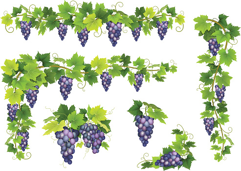 Blue grapes bunch set
