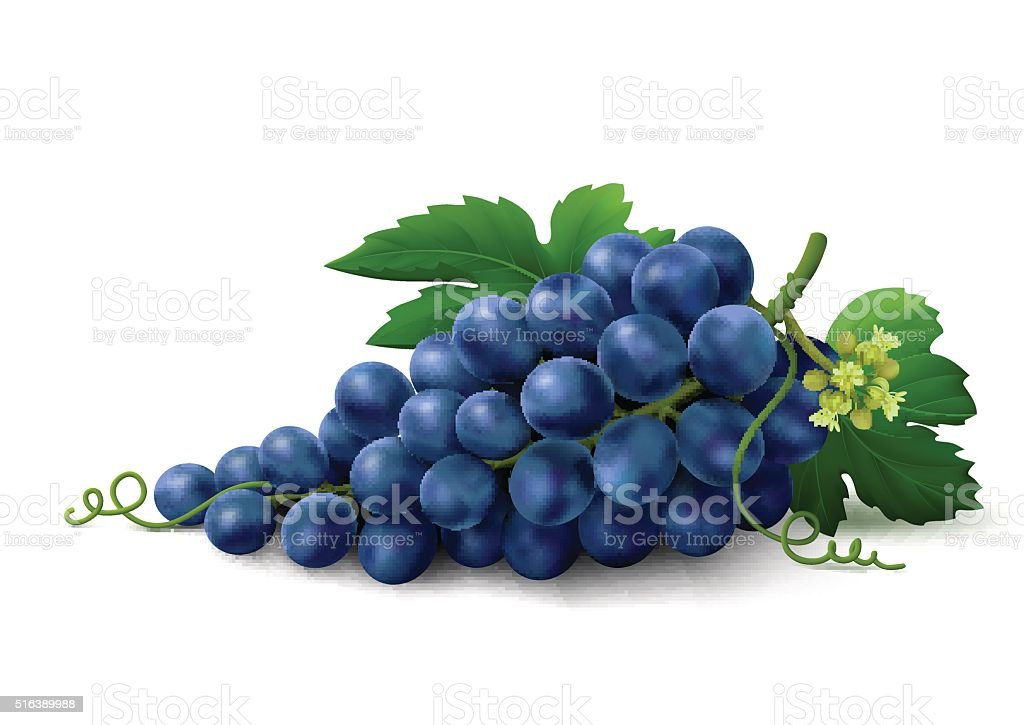 Blue grapes on white background royalty-free blue grapes on white background stock vector art & more images of autumn