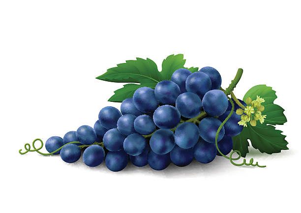 Blue grapes on white background vector art illustration