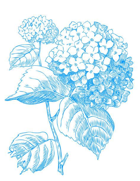 stockillustraties, clipart, cartoons en iconen met blauwe hortensia - hortensia