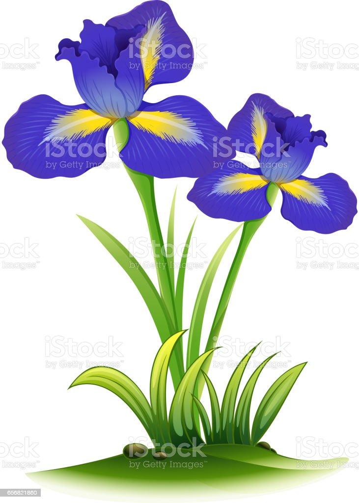 blue iris flowers in bush royaltyfree stock vector art