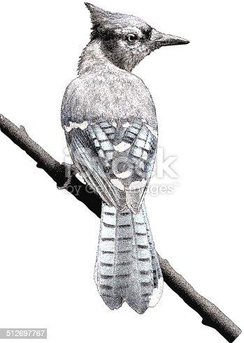 Color mezzotint illustration of a Blue Jay.