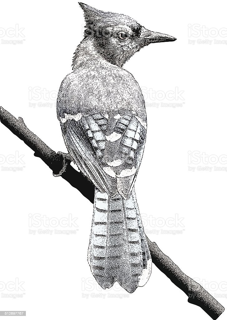 Blue Jay. Isolated on White vector art illustration