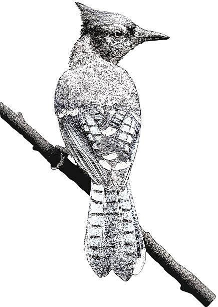Blue Jay. Isolated on White vector art illustration