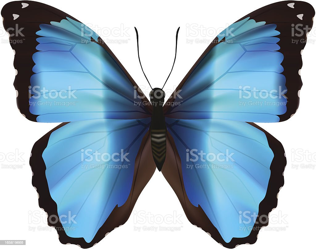 Blue Morpho Deidamia - Vector Illustration vector art illustration