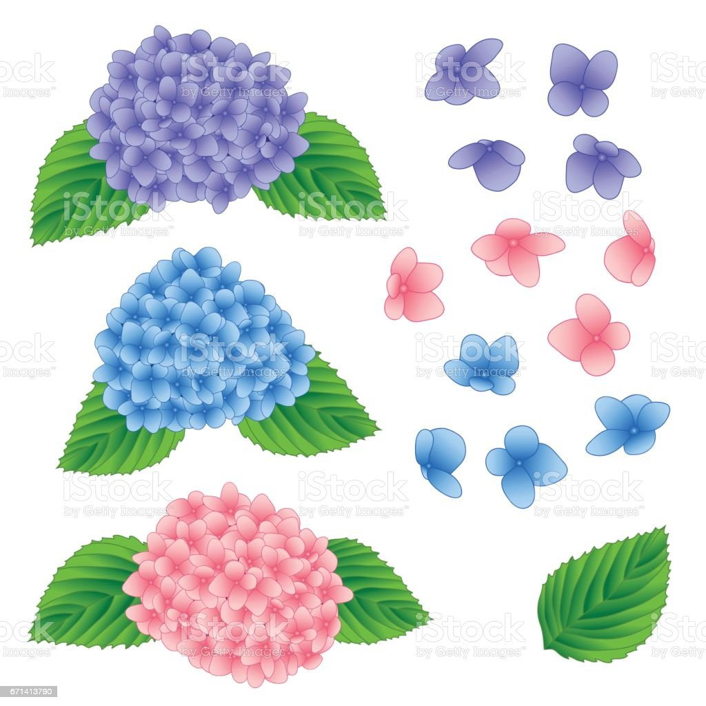 Blue, Pink and Purple Hydrangea Flower isolated on White Background. Vector Illustration vector art illustration