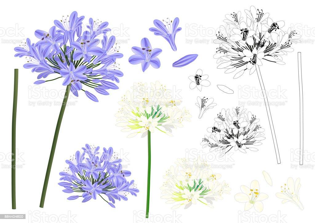 Blue Purple Agapanthus Outline vector art illustration