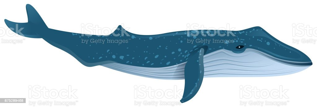 Blue whale is largest marine mammal vector art illustration