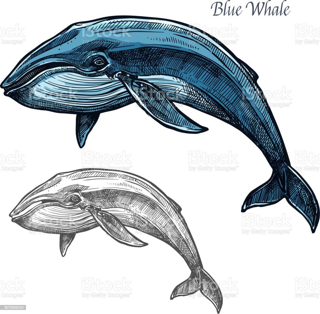 Baleine bleue croquis isolés pour design animal de mer - Illustration vectorielle