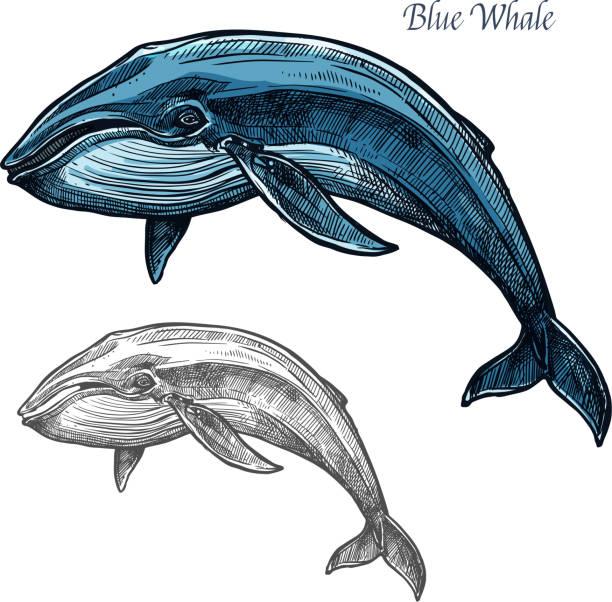 blauwal isoliert skizze für meer-tier-design - wal stock-grafiken, -clipart, -cartoons und -symbole