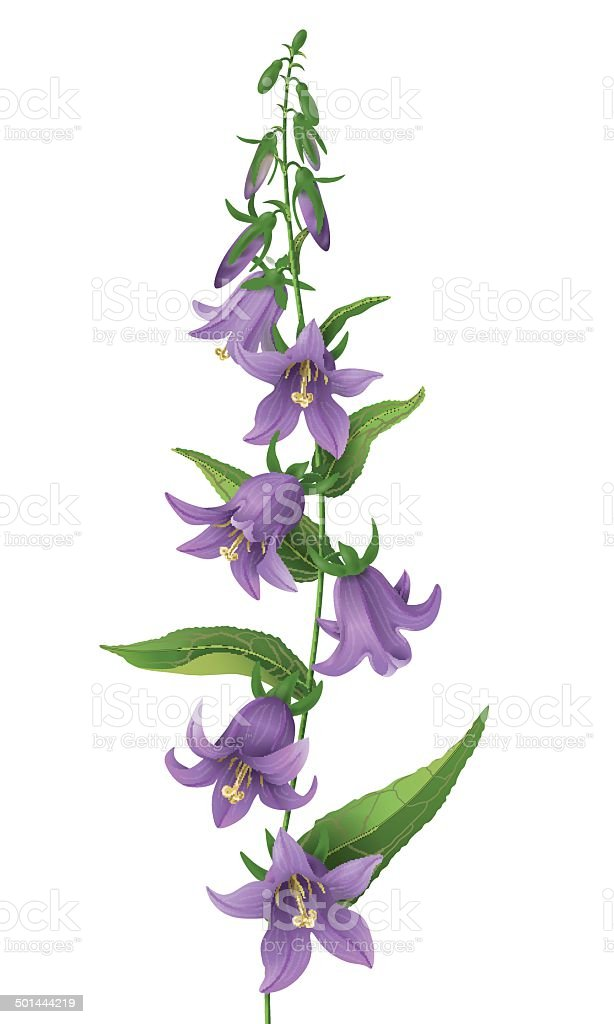 Bluebell flower. vector art illustration