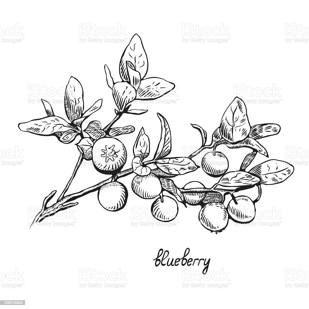 Blueberries, monochrome, line art vector art illustration