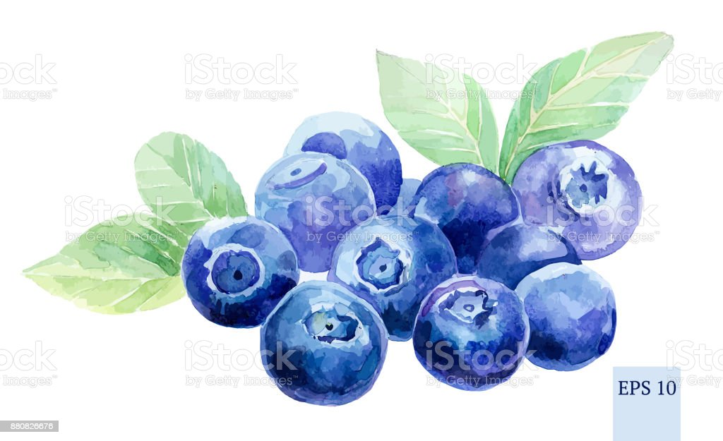 Blueberries watercolor isolated. Many painted berries. vector art illustration