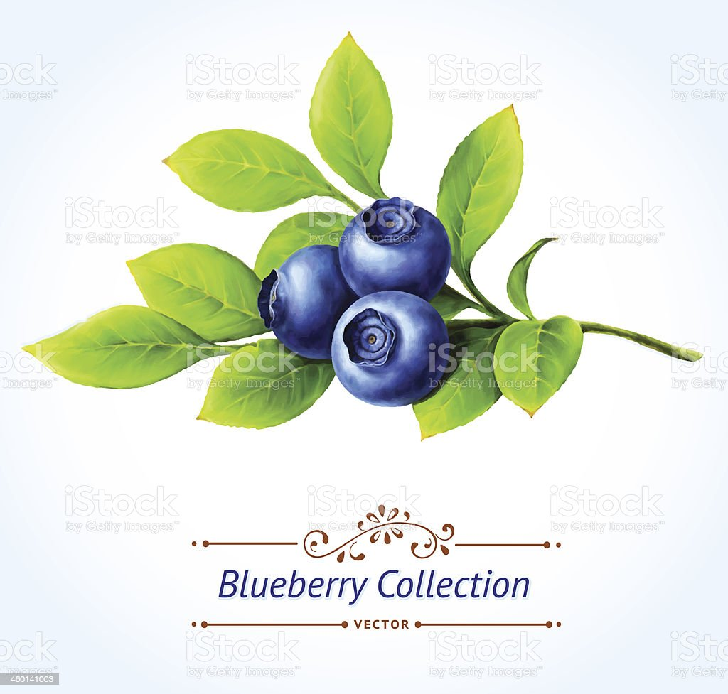 Blueberry branch, vector art illustration