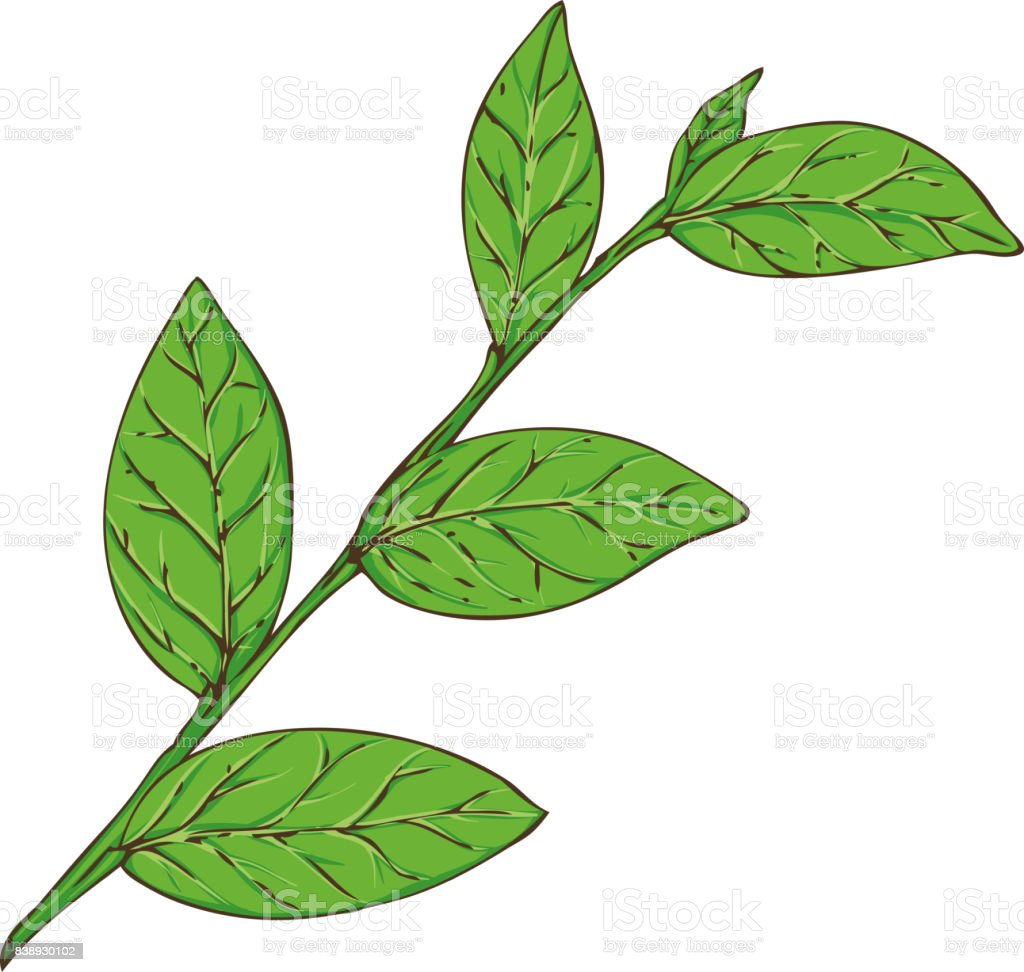 Blueberry Branch with Green Leaves vector art illustration