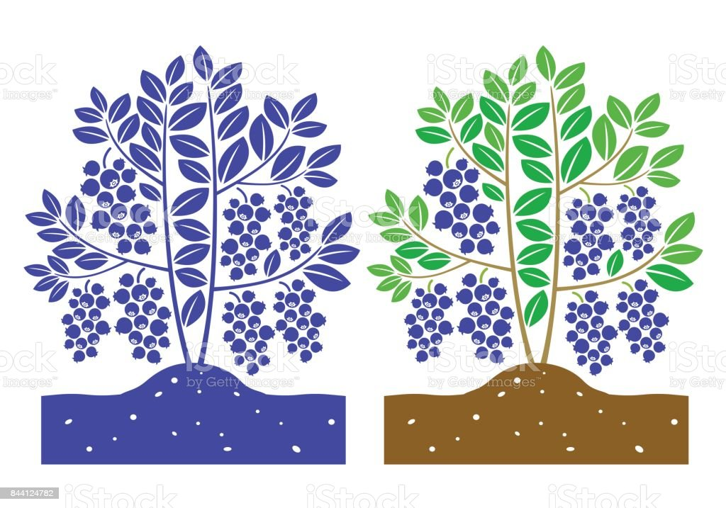 blueberry plant vector vector art illustration