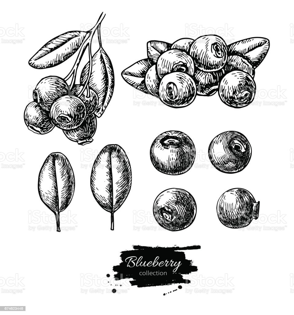 Blueberry vector drawing set. Isolated hand drawn berry, heap, branch and leaf on white background. vector art illustration