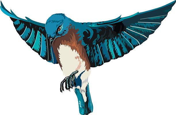 Bluebird with Full Open Wings In Flight Illustration on White vector art illustration